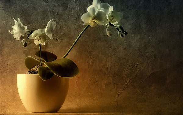 Mini Phalaenopsis 40 Cool Examples of Still Life Photography