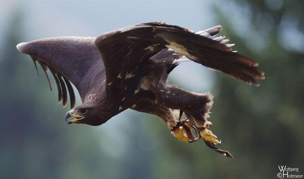 Golden_Eagle-Jump