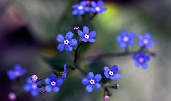 Brunnera 50 Beautiful Flowers Photography