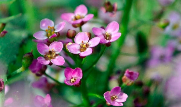 Delicate Purple Flowers