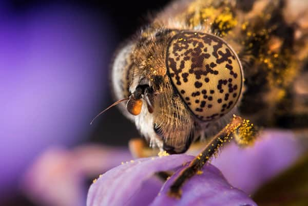 Eristalinus Night shots 30+ Insect Macro Photography and Tips