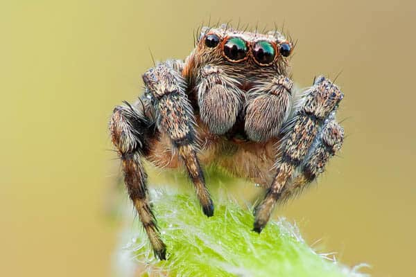 Jumping Spider 30+ Insect Macro Photography and Tips