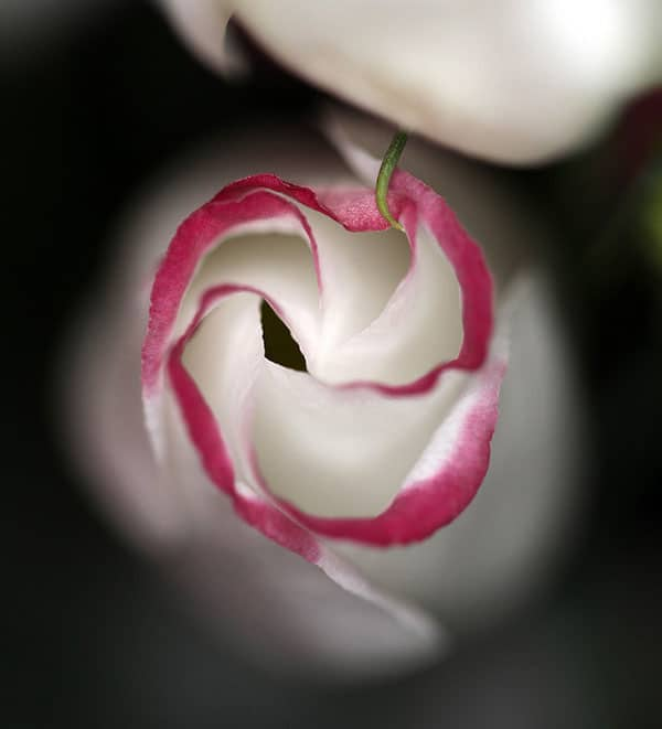 Pink Rim Lisianthus Flower 50 Beautiful Flowers Photography
