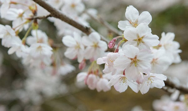 Sakura Blossom 50 Beautiful Flowers Photography