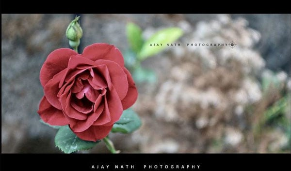 rose flower 50 Beautiful Flowers Photography