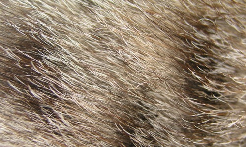 25 closeup of cat fur 30+ Fur Texture Collections