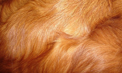 Red Retriever Dog Fur Texture 30+ Fur Texture Collections