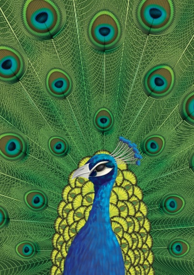 peacock 40 Simple Adobe Illustrator Tutorials