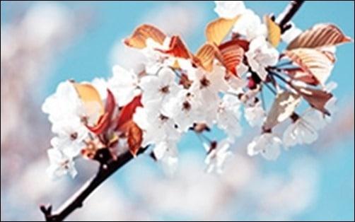 Cherry-Flowers-spring-wallpaper-free