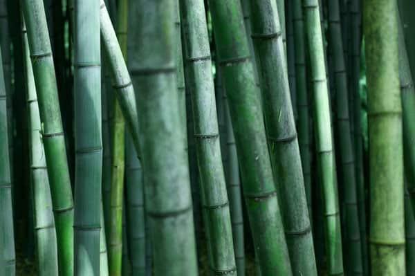 Green Bamboo - Life