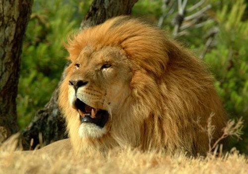 Lion Roar Wallpaper