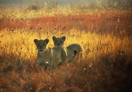 Lion Sisters