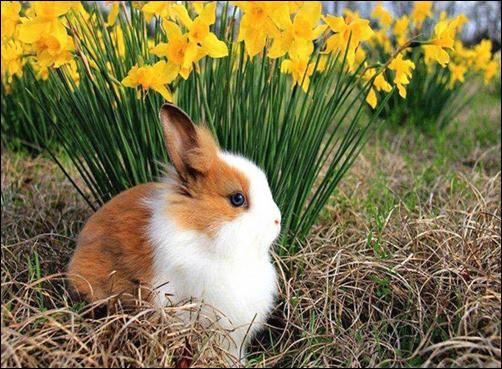 Spring-Bunny-spring-wallpaper