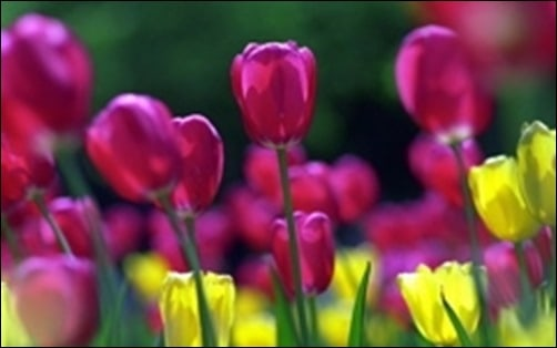 Spring-Tulips-springtime-backgrounds