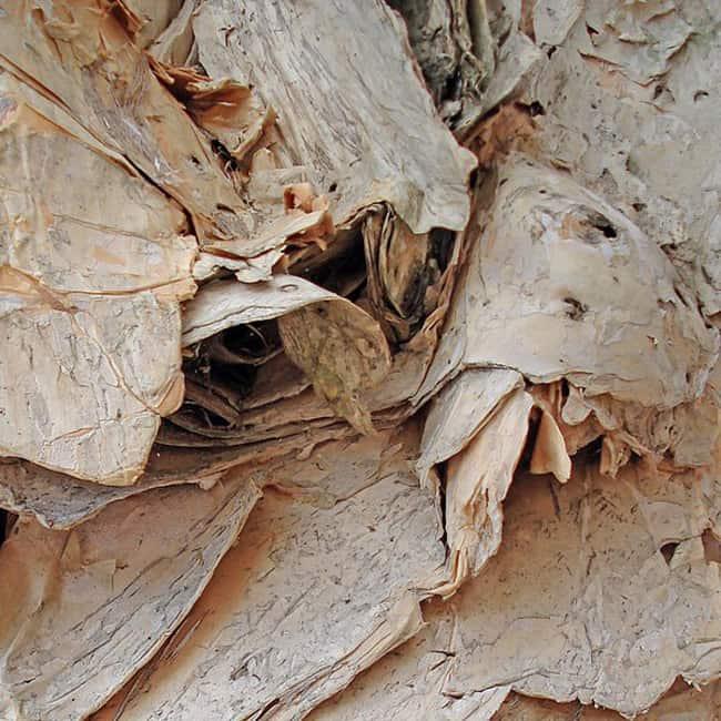 Paper Bark Tree Texture 05